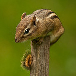 chipmunk_